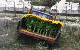 Harvest chrysanthemum flower on agriculture farmland for spring crop and transport by old truck. Harvest chrysanthemum flowers on agriculture farmland for spring royalty free stock image