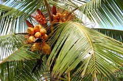 Harvest of the coconut palm with yellow fruits Royalty Free Stock Image