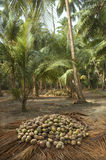 Harvest coconuts collected Royalty Free Stock Photos