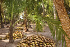 Harvest coconuts under the palm trees Royalty Free Stock Photography