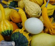 Harvest collection of colorful squash and gourds. Royalty Free Stock Image