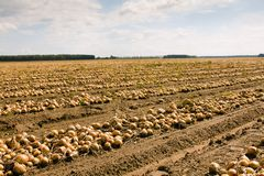Harvest company (onions) Royalty Free Stock Image