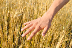 Harvest concept of hand touching wheat ears. On sunny day in field Stock Photos