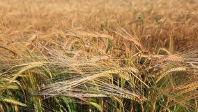 The Harvest Royalty Free Stock Images
