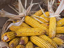 Harvest, corn cobs, maize in basket. Sweetcorn. Stock Images