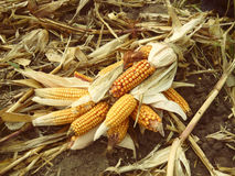 The harvest of corn cobs substandard Stock Image