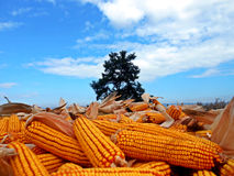 Harvest. Corn harvest crop load full rich ripe plenty much growth yield income pick conceptual Royalty Free Stock Photos