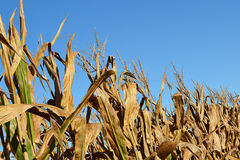 Harvest Corn. Dried cornstalks ready for harvest Royalty Free Stock Photos