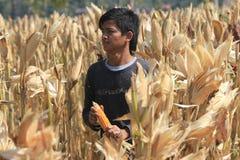 Harvest corn Royalty Free Stock Image
