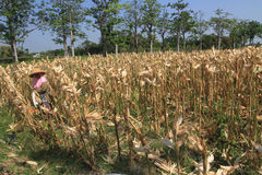 Harvest corn Stock Image
