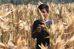 Harvest corn Stock Photography