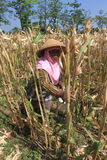 Harvest corn Stock Photos
