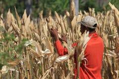 Harvest corn Stock Photo