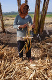 Harvest corn Royalty Free Stock Photo