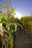 Harvest Corn Field Royalty Free Stock Photos