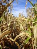 Harvest Corn Maze with Scarecrow Stock Photos