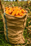 Harvest corn Royalty Free Stock Photography