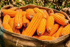 Harvest corn Stock Photography