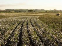 Harvest cotton Royalty Free Stock Photos
