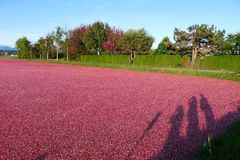 Harvest of Cranberries in the Water in Canada. Harvest of Cranberries in the water in Richmond, metro Vancouver, BC, Canada. Visitors are taking photos stock photos