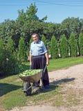 Harvest cucumbers Stock Photos