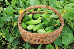 Harvest cucumbers in a basket Royalty Free Stock Images