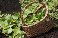 Harvest cucumbers in a basket Stock Photography