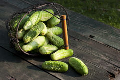 Harvest cucumbers in a basket Royalty Free Stock Photos