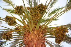Harvest on date palm Royalty Free Stock Photography