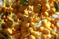 Harvest of dates Stock Photos