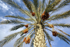Harvest of dates. Date palm tree against the blue sky with clouds Stock Image