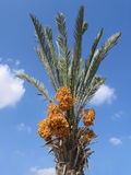 Harvest of dates. Date palm tree against the blue sky with clouds Royalty Free Stock Images