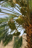 Harvest dates on the palm Royalty Free Stock Image