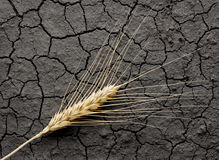 Harvest on dead soil Royalty Free Stock Photo