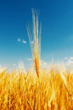 Harvest and deep blue sky Stock Image