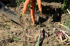 Harvest: a digging with a shovel carrots and onions. The summer harvest: a digging with a shovel carrots and onions in a garden royalty free stock images