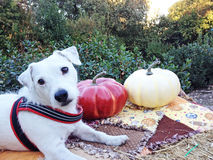 Harvest Dog. White Jack Russell sitting on a pail of hay with red and white pumpkins Royalty Free Stock Image