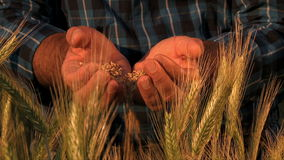 Harvest. Farmer hands full of ripe wheat seeds in front of yellow field ready for the harvest. Close up of the hands of a man who drops the seeds in the field stock video footage
