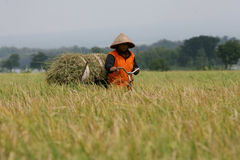 Harvest. Farmers to harvest rice in the rice fields in Boyolali, Central Java, Indonesia Royalty Free Stock Photo