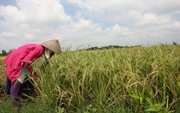Harvest. Farmers to harvest rice in the rice fields in Boyolali, Central Java, Indonesia Stock Image