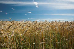 Before harvest - farmland Royalty Free Stock Images