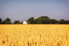 Harvest festival golden field of wheat. Farmland in Norfolk, Eas Royalty Free Stock Photo
