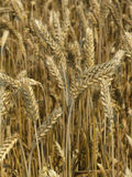 Harvest Field. Agricultural field, background, yellow, plant royalty free stock photos