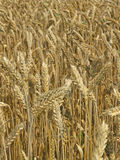 Harvest Field. Agricultural field, nutrition, food, yellow royalty free stock image