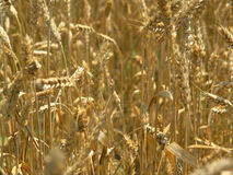Harvest Field. Agricultural field, agricultural, agriculture, array, autumn, background, cereal, color stock photography