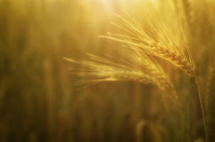 Harvest in the field.  Beautiful golden wheat Royalty Free Stock Images