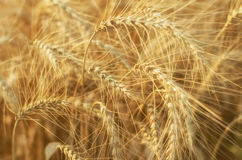Harvest in the field.  Beautiful golden wheat Royalty Free Stock Photo