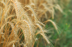 Harvest in the field.  Beautiful golden wheat Stock Image