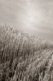 Harvest field crop Stock Photography