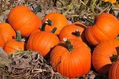 Harvest in a field of pumpkins in early fall Royalty Free Stock Photos
